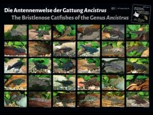 Die Antennenwelse der Gattung Ancistrus