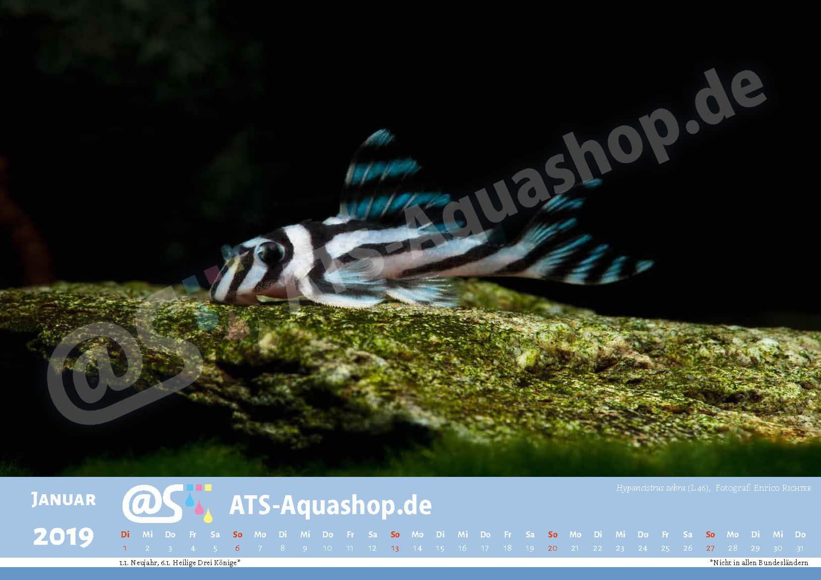 Photo calendar 2019 DIN A3: Hypancistrus zebra (L 46)