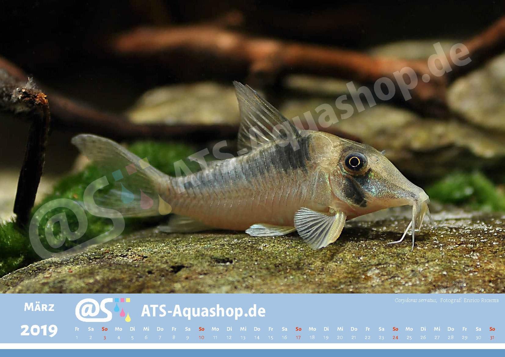 Photo calendar 2019 DIN A3: Corydoras serratus