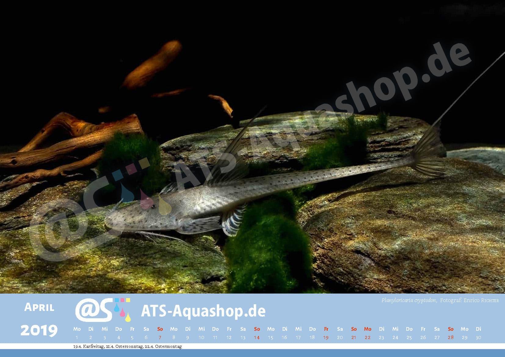 Photo calendar 2019 DIN A3: Planiloricaria cryptodon