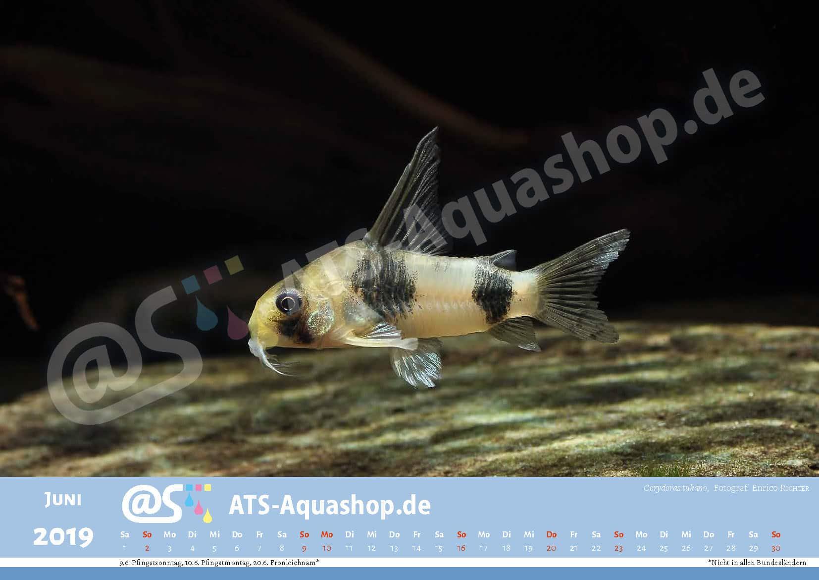 Photo calendar 2019 DIN A3: Corydoras tukano