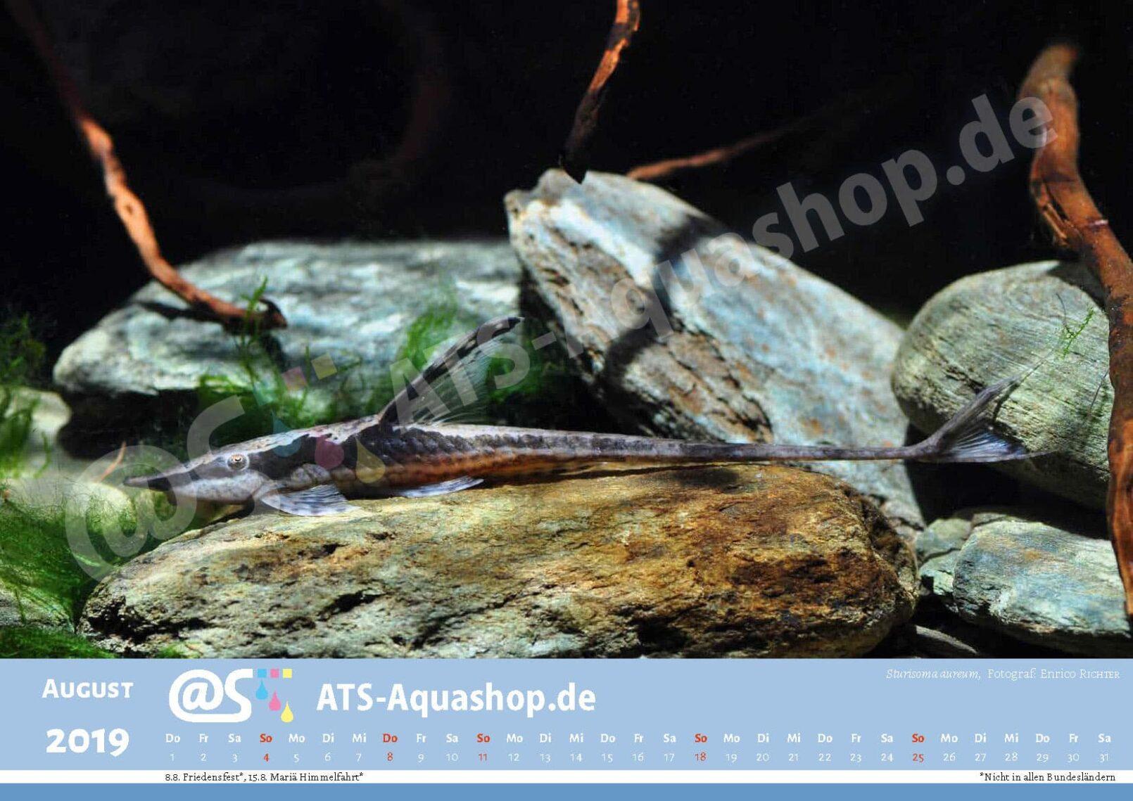 Foto Jahreskalender 2019 DIN A3: Sturisoma aureum