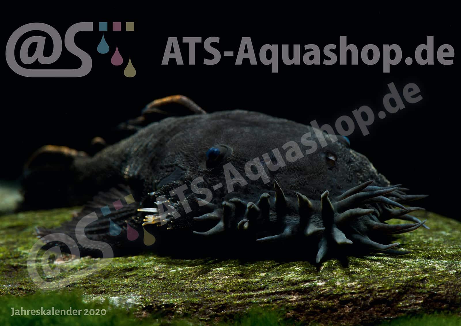 Foto Jahreskalender 2020 DIN A3: Ancistrus ranunculus (L 34)