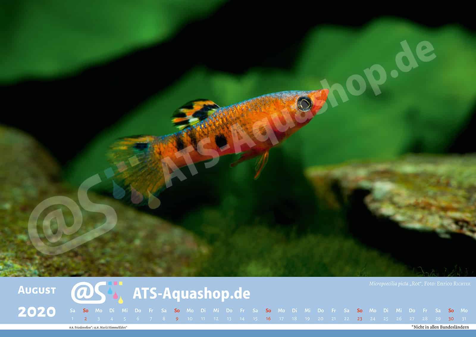 "Foto Jahreskalender 2020 DIN A3: Micropoecilia picta ""Rot"""