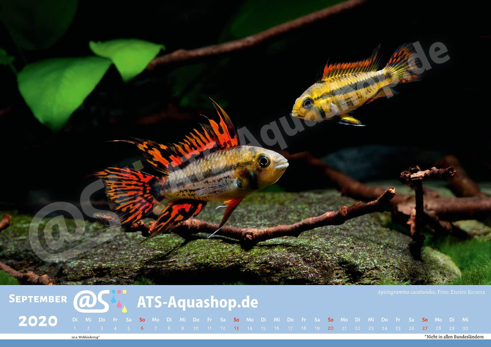 Foto Jahreskalender 2020 DIN A3: Apistogramma cacatuoides