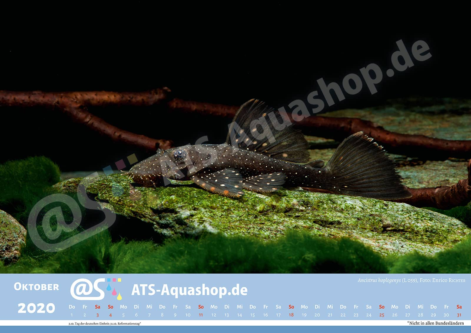 Foto Jahreskalender 2020 DIN A3: Ancistrus hoplogenys(L 059)