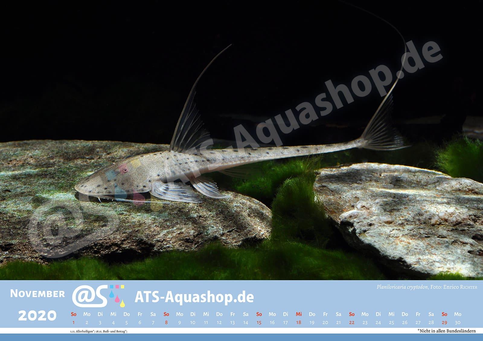 Foto Jahreskalender 2020 DIN A3: Planiloricaria cryptodon