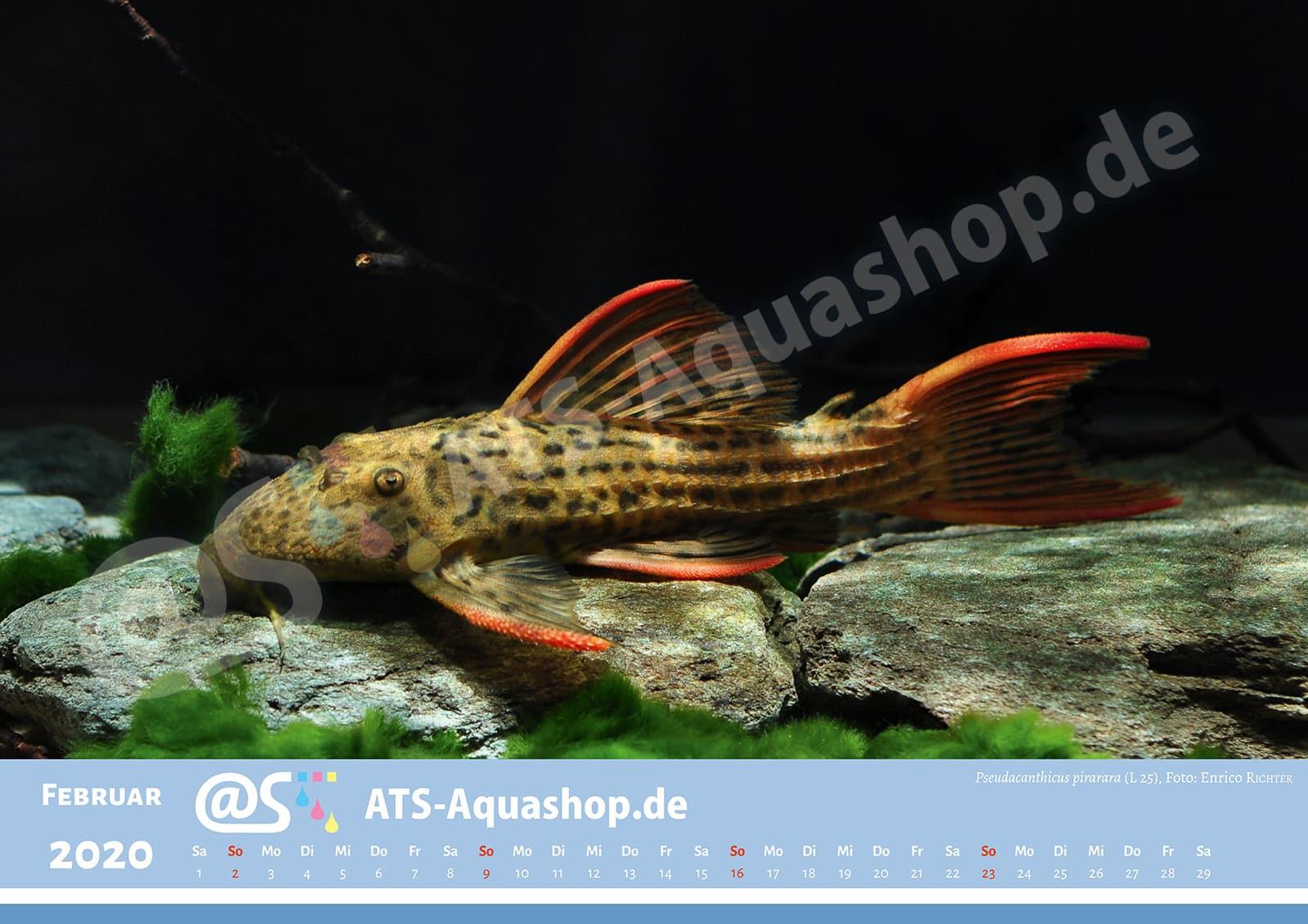 Foto Jahreskalender 2020 DIN A3: Pseudacanthicus pirarara (L 25)