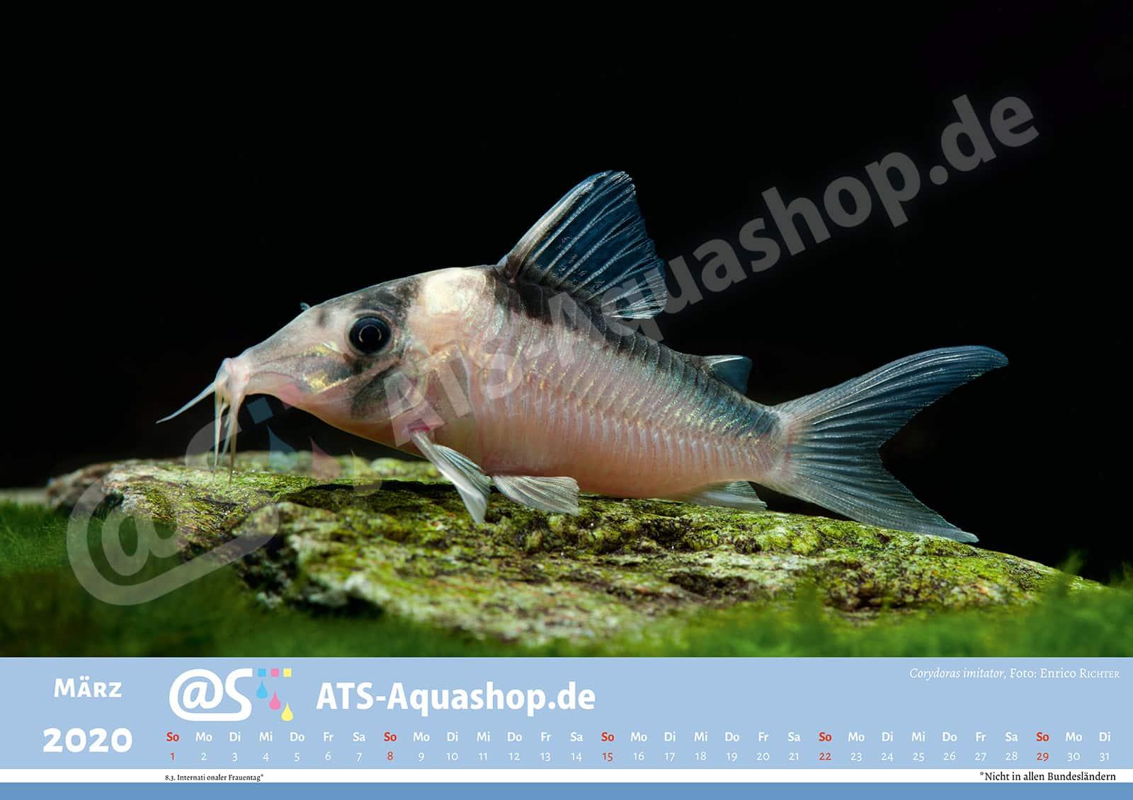 Photo calendar 2020 DIN A3: Corydoras imitator