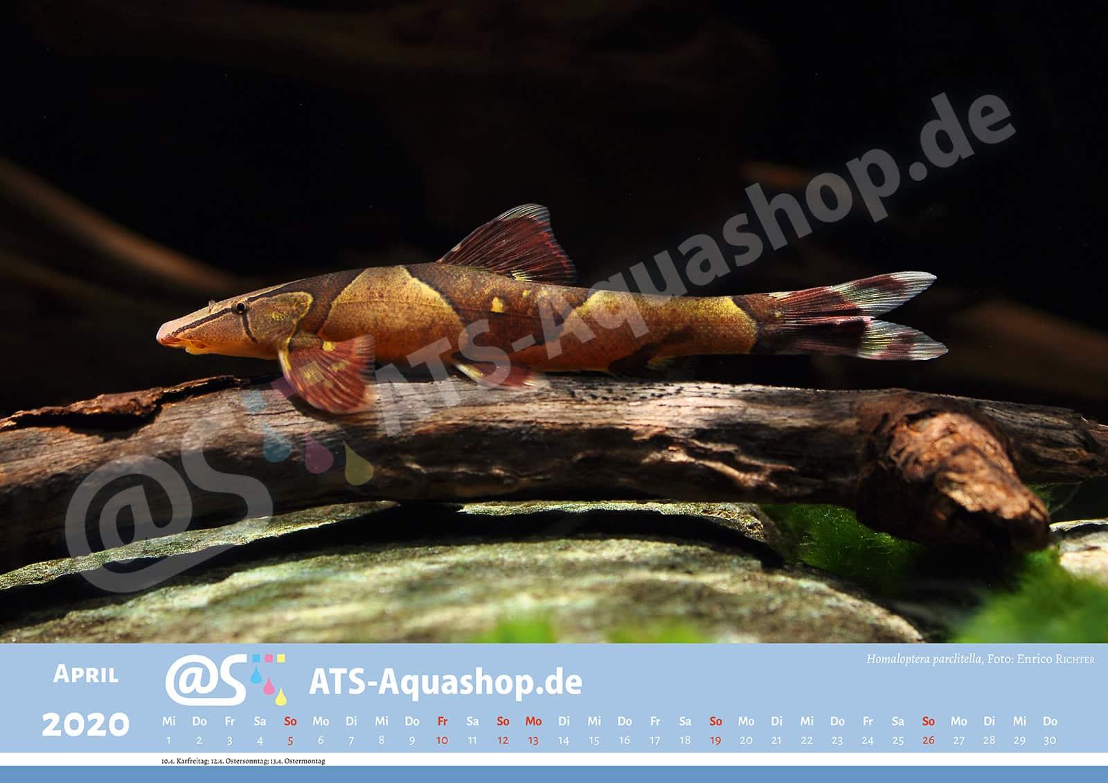 Photo calendar 2020 DIN A3: Homaloptera parclitella
