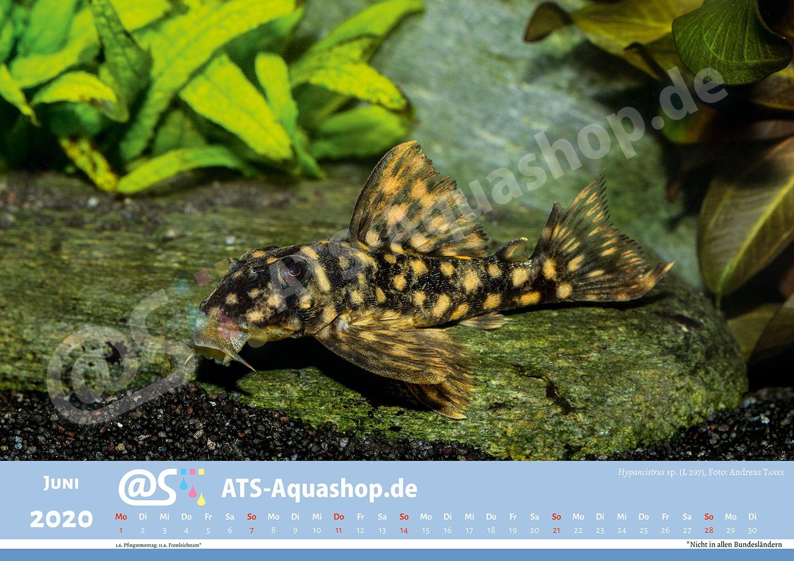 Foto Jahreskalender 2020 DIN A3: Hypancistrus sp. (L 297)