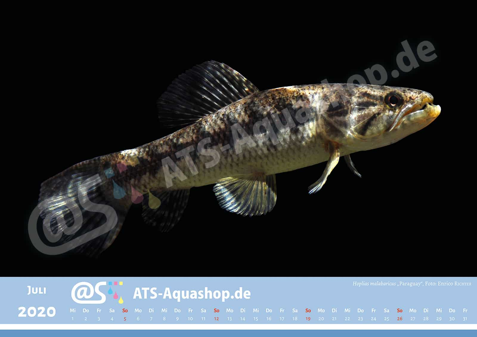 "Foto Jahreskalender 2020 DIN A3: Hoplias malabaricus ""Paraguay"""
