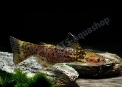 Acryl: Auchenipterichtys punctatus