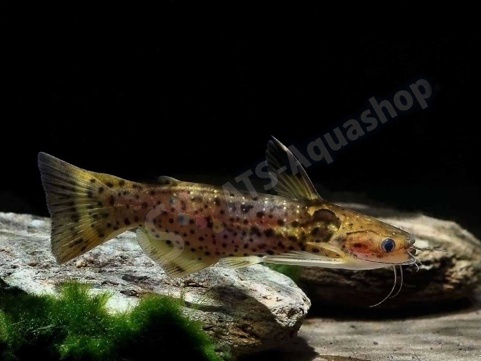 auchenipterichtys punctatus enrico richter 0084 8
