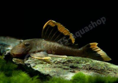 Acryl: Baryancistrus chrysolomus (L 47)