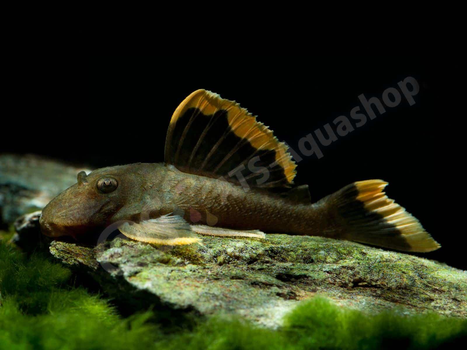baryancistrus chrysolomus l 47 enrico richter 0131 23