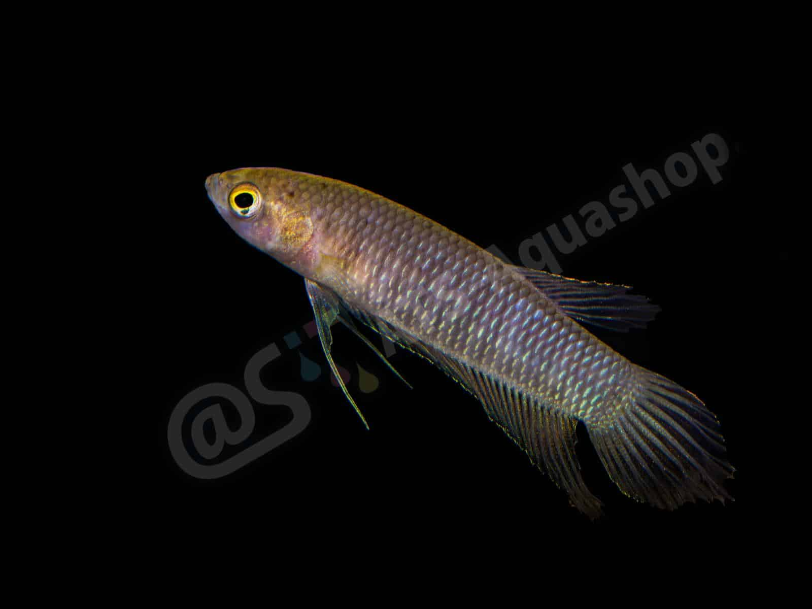 betta simorum andreas tanke 0110 10