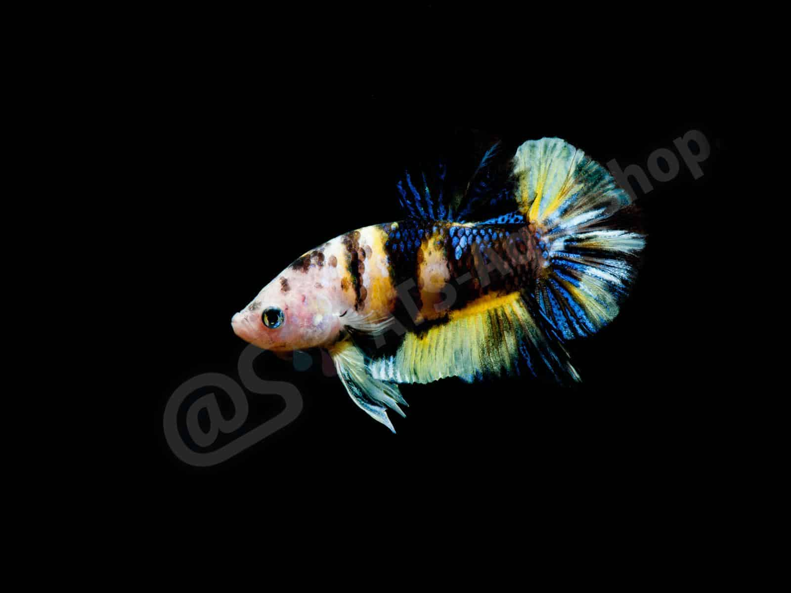 betta splendens  koi shorttail  enrico richter 0326 6