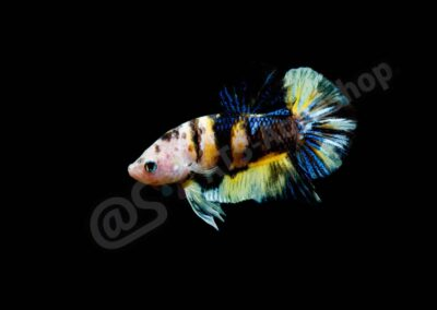 "Aluminium: Betta splendens ""Koi Shorttail"""