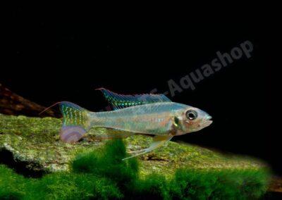 Aluminium: Biotoecus opercularis