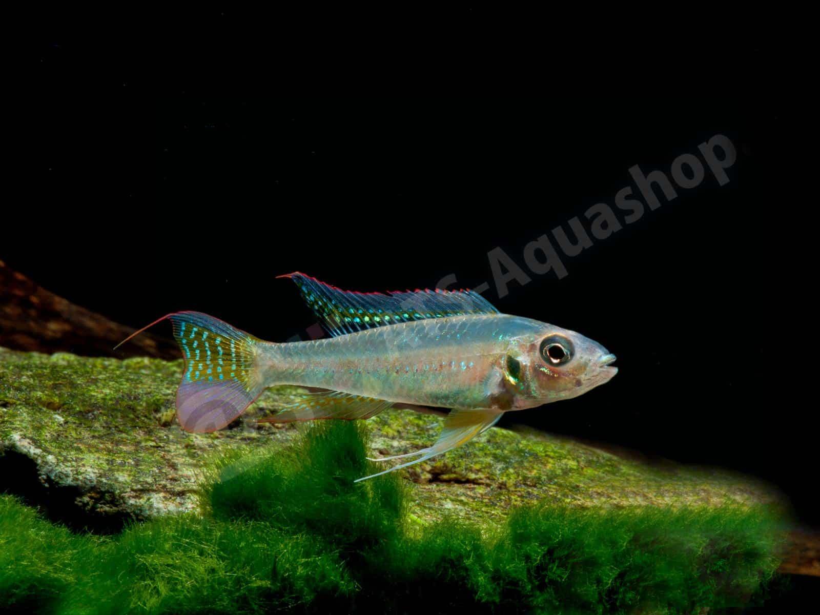 biotoecus opercularis enrico richter 0208 7