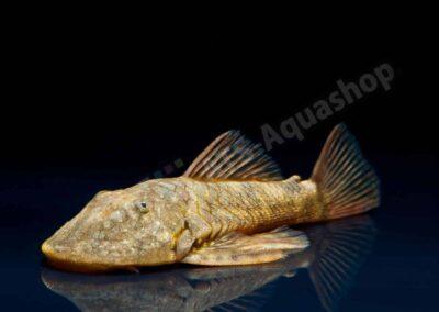 Acryl: Chaetostoma platyrhynchus