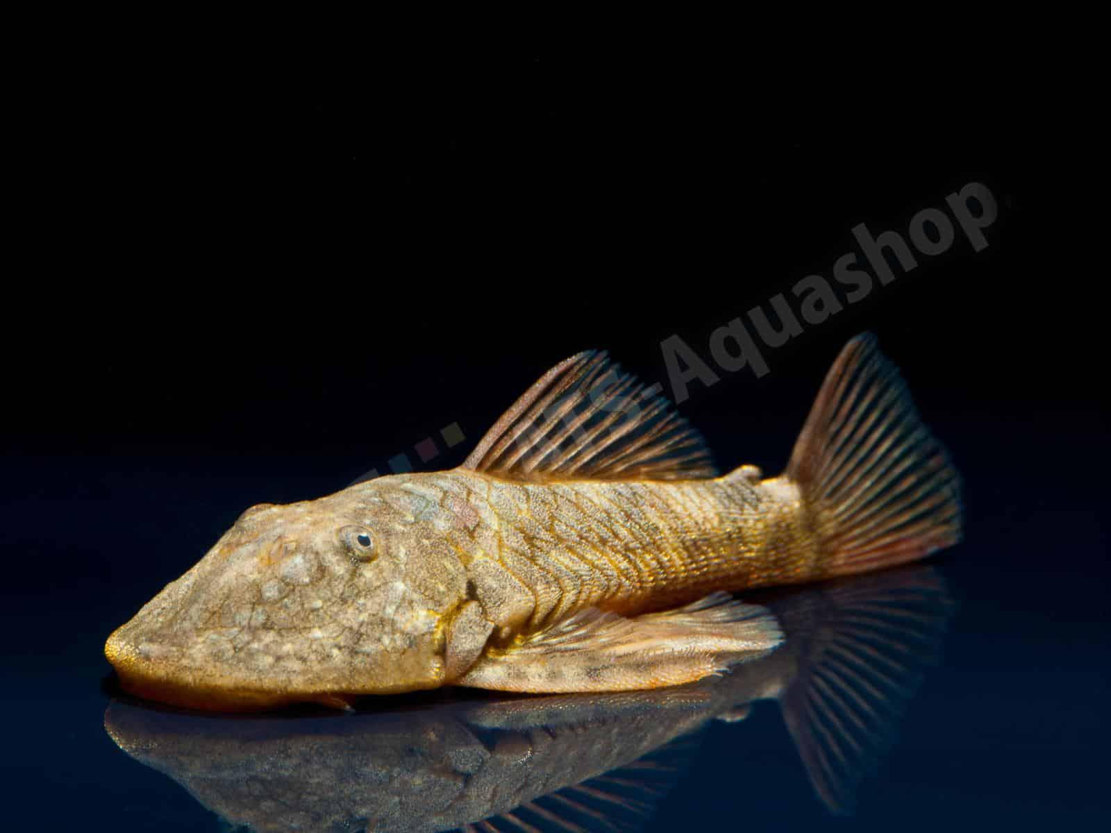 chaetostoma platyrhynchus enrico richter 0275 7