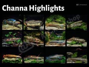 Poster: Channa Highlights (Enrico Richter)