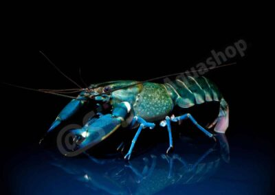 "Acryl: Cherax sp. ""Blue Moon"""