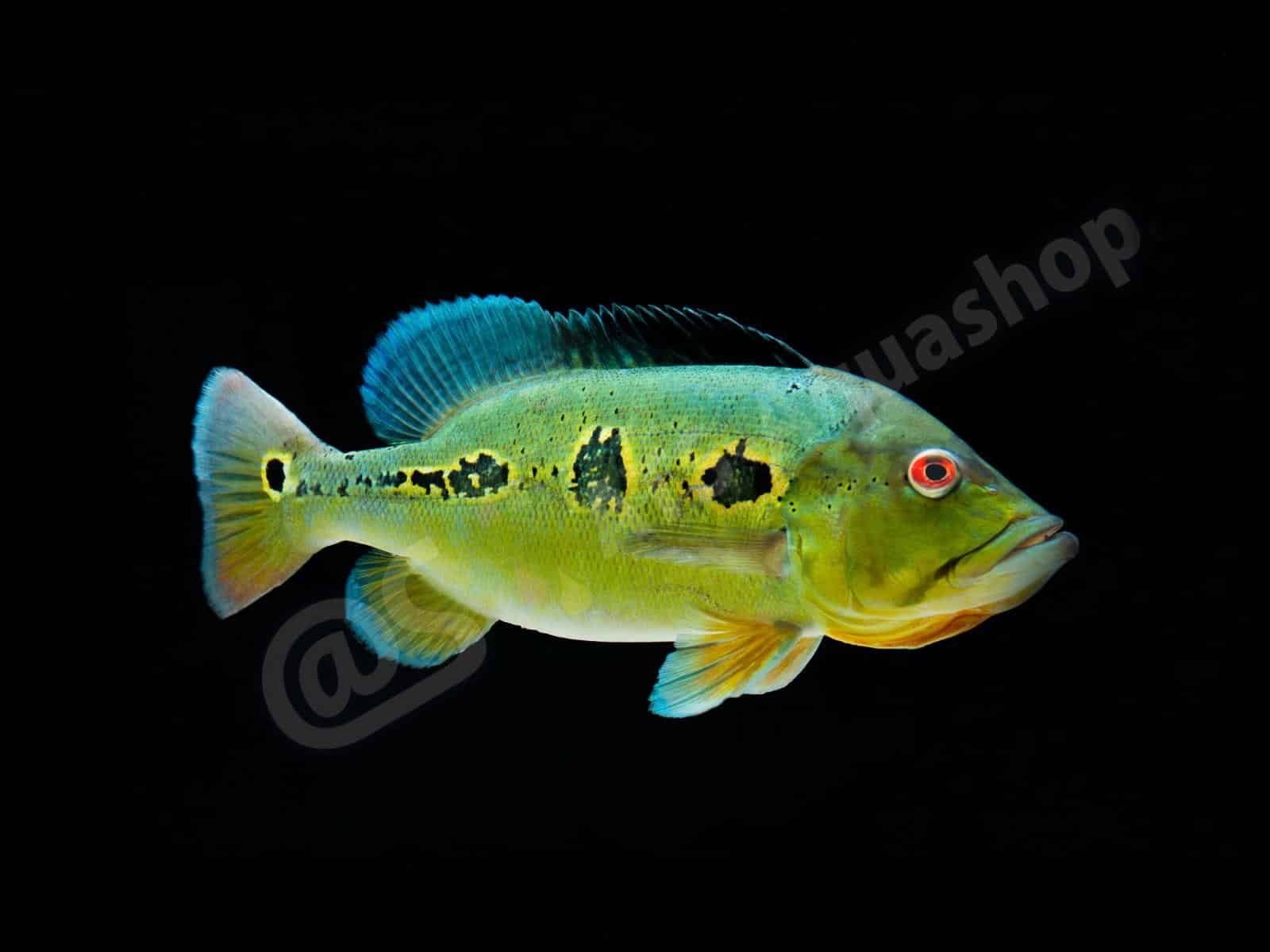 cichla orinocensis enrico richter 0182 8