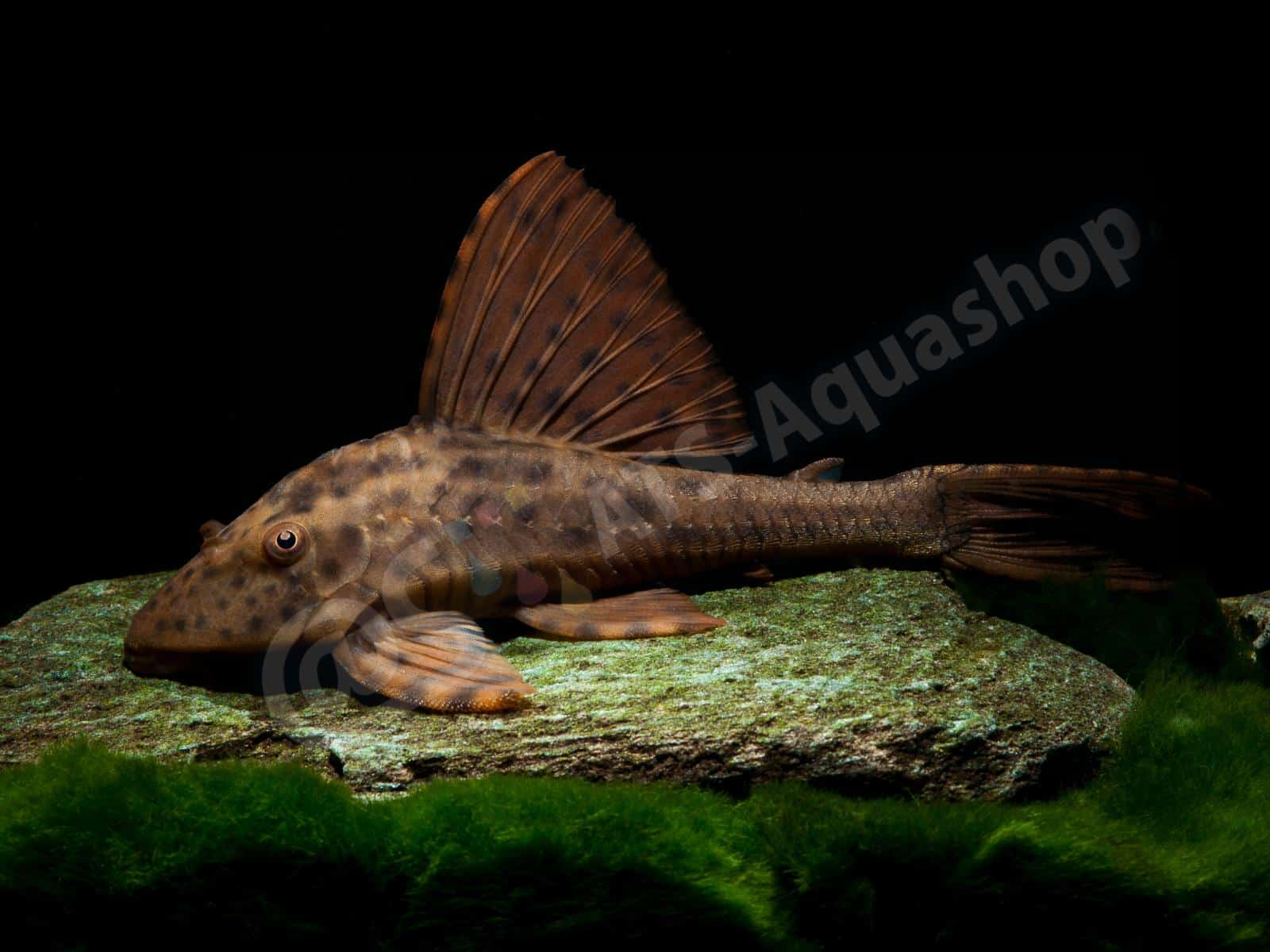 cochliodon sp   paraguay  enrico richter 0122 7