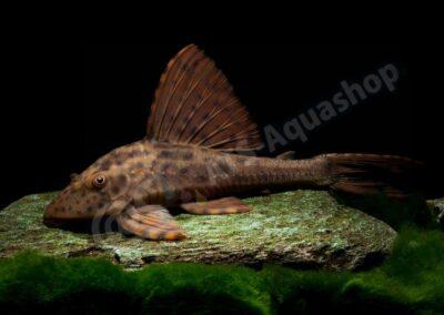 "Leinwand: Cochliodon sp. ""Paraguay"""