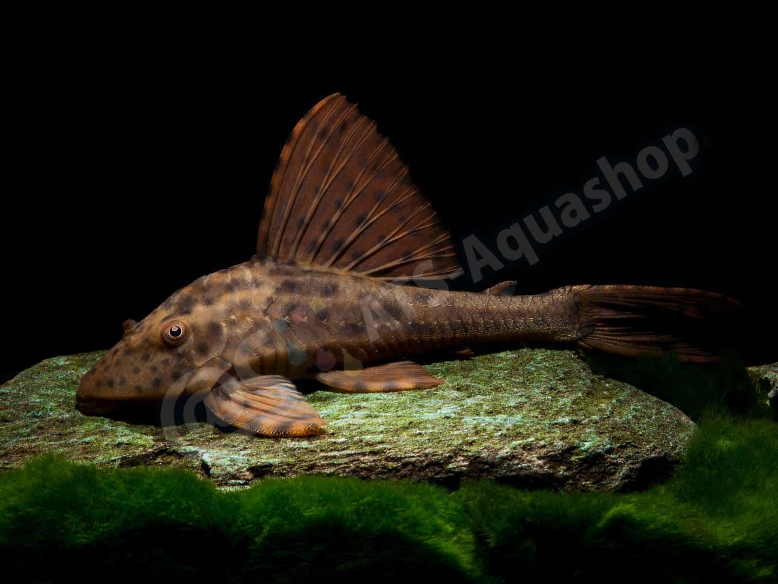 cochliodon sp paraguay enrico richter 0122 8