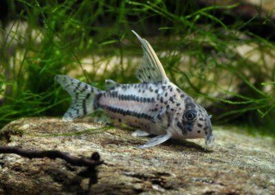 Acryl: Corydoras cf. schwartzii