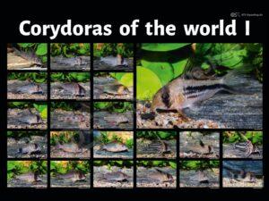 Poster: Corydoras of the world I (Andreas Tanke)