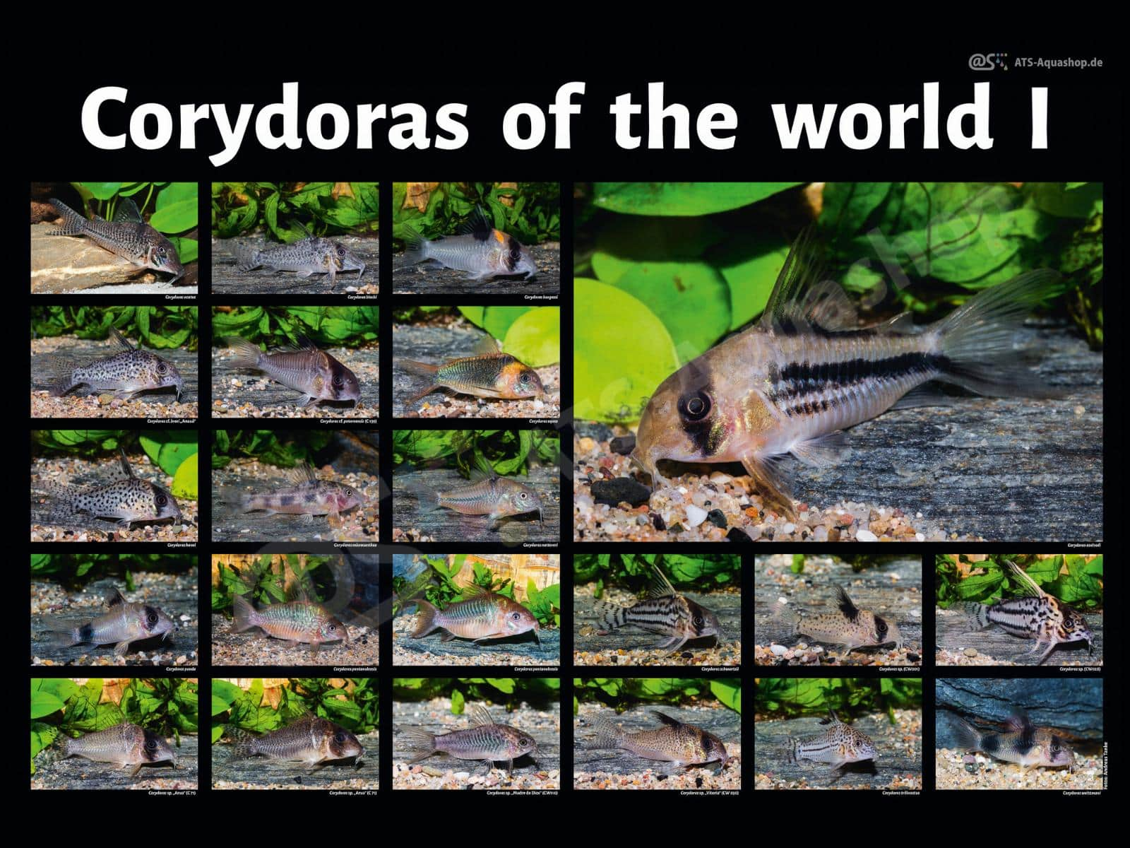 Poster: Corydoras of the world I (Andreas Tanke)