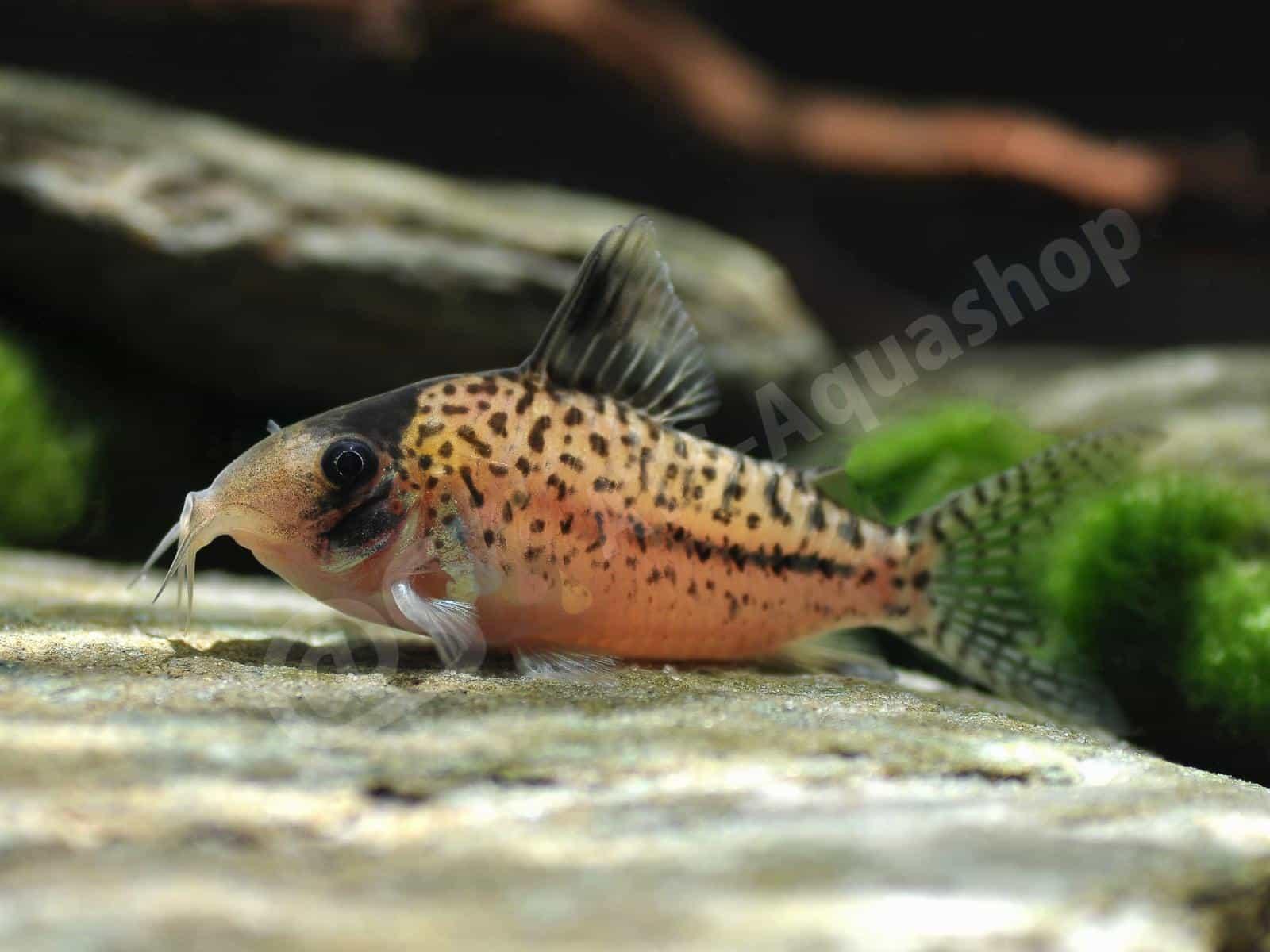 corydoras orphnopterus enrico richter 0032 7