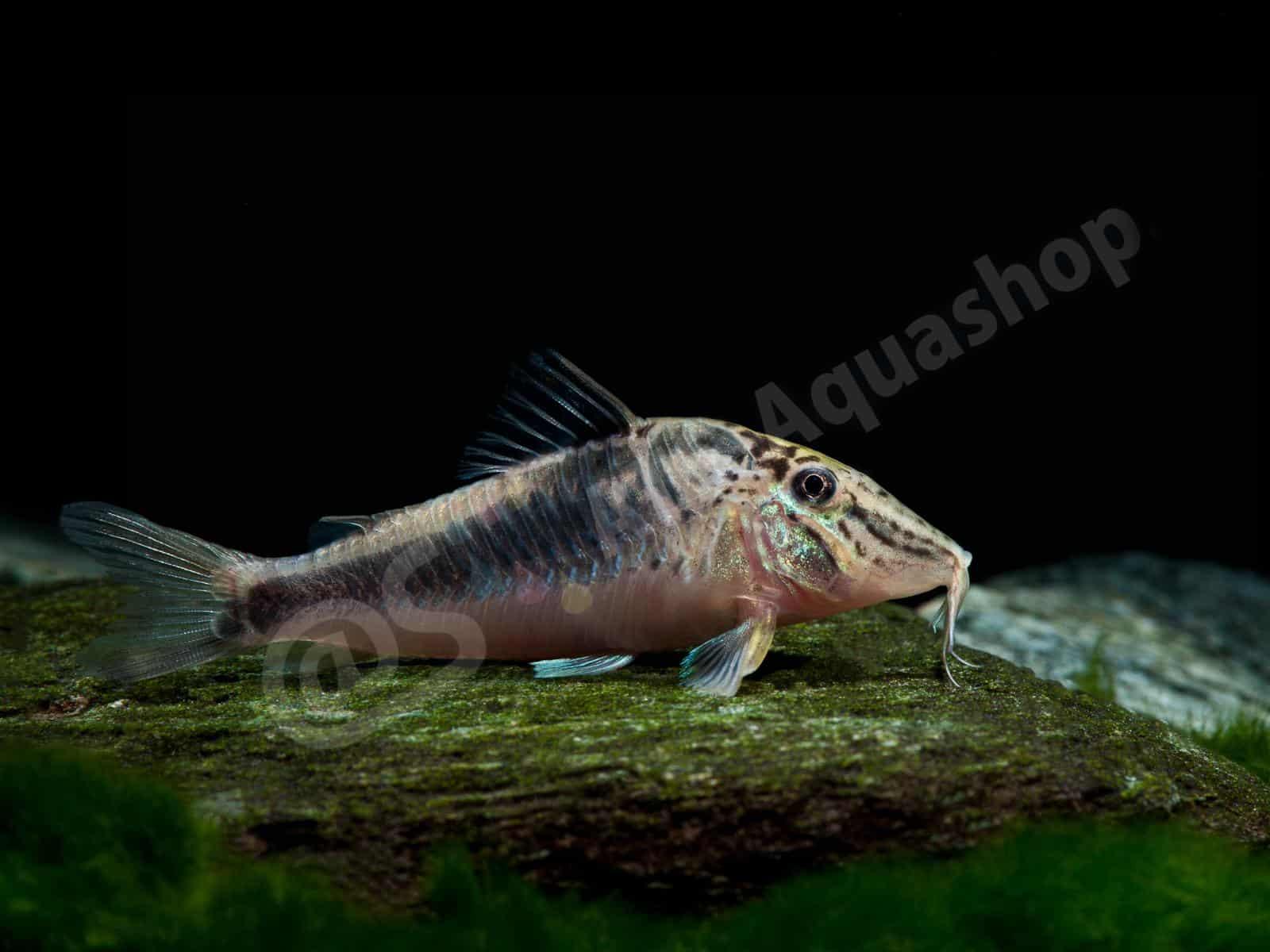 corydoras semiaquilus enrico richter 0145 8