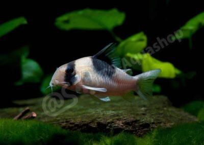 Acryl: Corydoras sp. (CW 051)