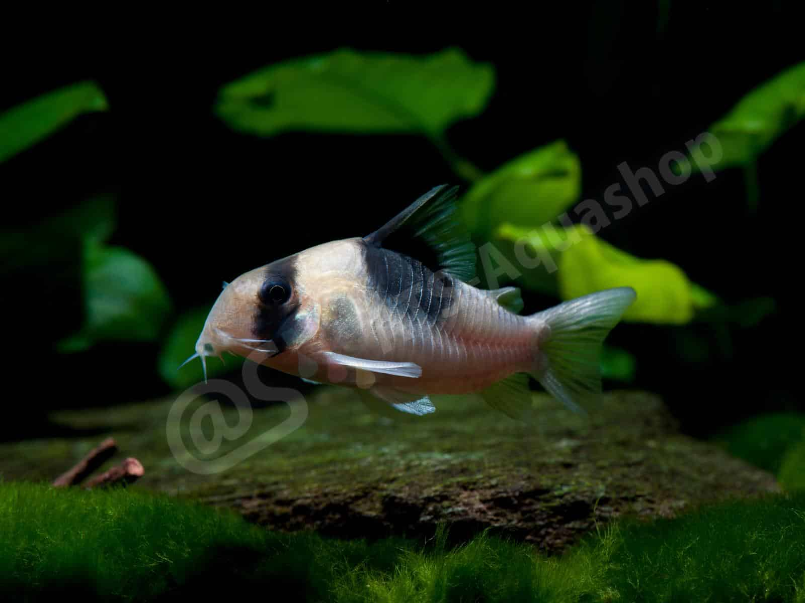 Art Prints on Acrylic: Corydoras sp. (CW 051) (Enrico Richter)