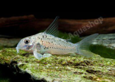 Acryl: Corydoras sp. (CW 112)