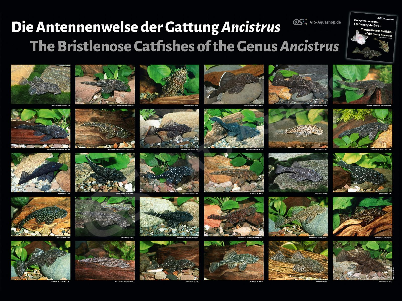 Posters: The Bristlenose Catfishes of the Ancistrus (Ingo Seidel)