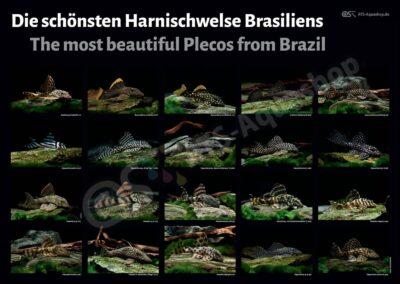 Poster: Die schönsten Harnischwelse Brasiliens