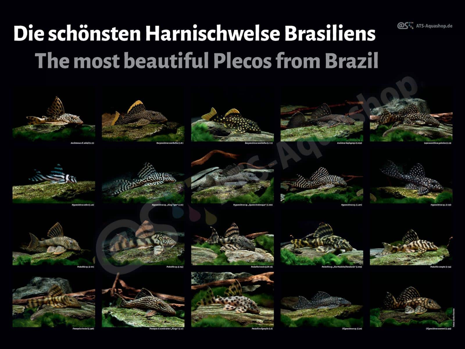 Posters: The most beautiful Plecos from Brazil
