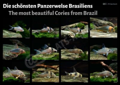 Poster: Die schönsten Panzerwelse Brasiliens