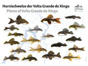 Posters: Plecos of Volta Grande do Xingu (Leandro Sousa)