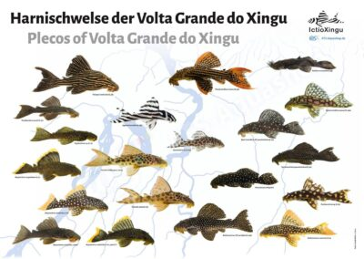 Poster: Harnischwelse der Volta Grande do Xingu