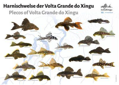 Poster: Harnischwelse der Volta Grande do Xingu