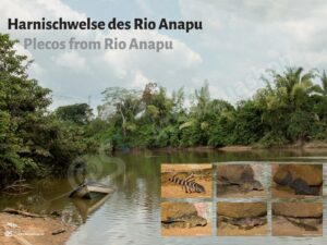Posters: Plecos from Rio Anapu (Andreas Tanke)