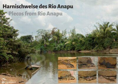 Poster: Harnischwelse des Rio Anapu